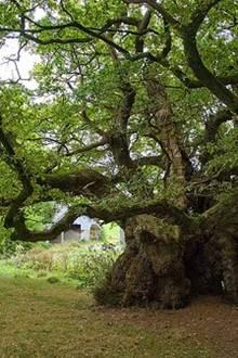 Exposition : les arbres remarquables en Bretagne