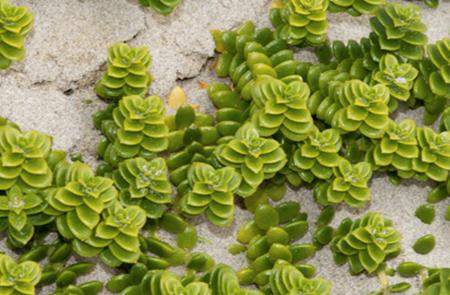 Au fil des plantes de bord de plage
